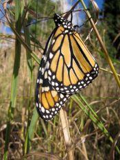Monarch, after seeason