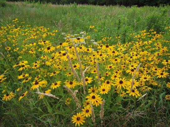 Black-eyed Susans in early July