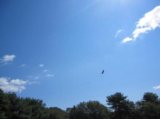 Three Turkey vultures in fight