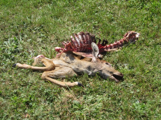 The carcass at the start of the vulture meal