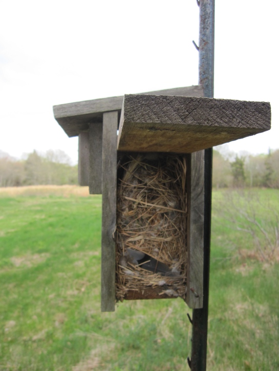 House sparrows nest side view