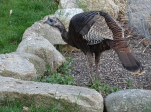 Female turkey in the herb garden looking smaller than a Harpy eagle