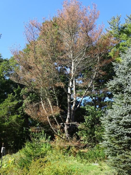 Dead White pine