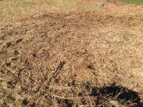 Post digging of Lonicera root