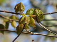 Sugar Maple leaf out