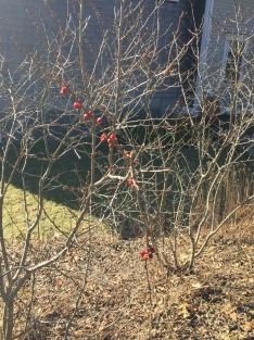Winterberry after feast