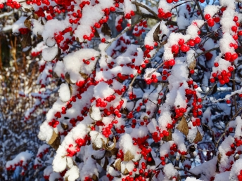 Winterberry in snow