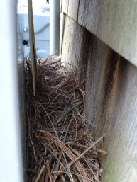 Phoebe nest between the meter and the guest house